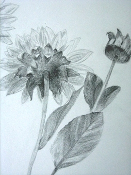 这一幅素描铅笔画 , 作者表现花朵